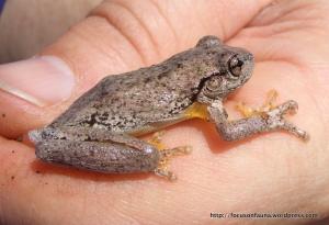 Peron's Tree Frog (Litoria peroni)