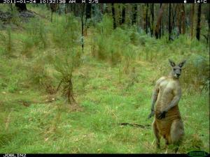 Eastern Grey Kangaroo (Macropus giganteus) 7