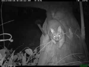 Common Brushtail Possum (Trichosurus vulpecula)