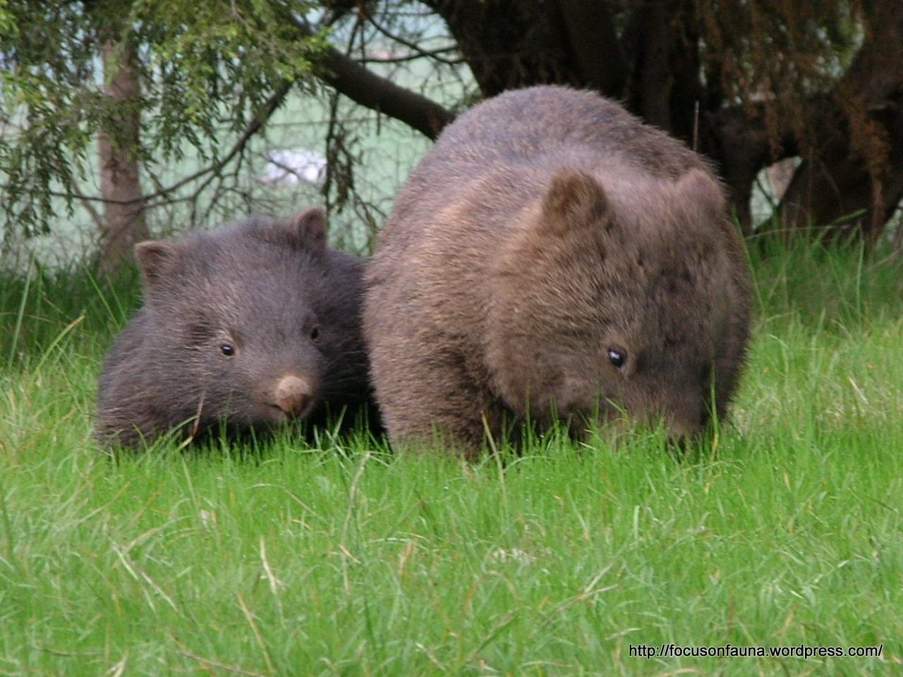 Here Is What Thought To Be The Same Wombat With Her Young In Late