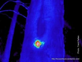 Possum in tree hollow
