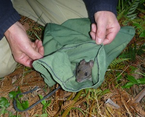 Native Bush Rat