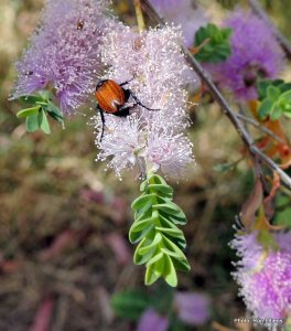 Nectar Scarab