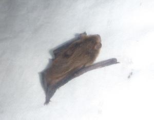 Bat in harp trap