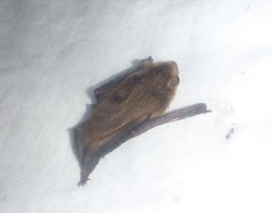 Bat in harp trap
