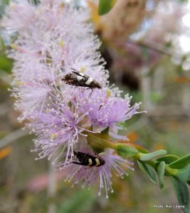 Sedge Moth