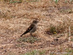 Pink robin 2006