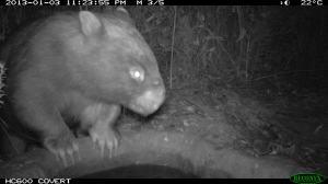 Wombat at bird bath