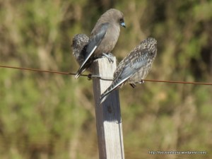 Adult and juvenile Dusky Woodswallows