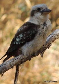 Cuz Kookaburra