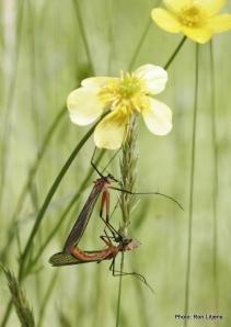 Scorpion flies (Ptilogyna sp.)
