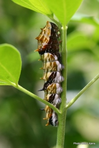 Orchard Swallowtail caterpillar
