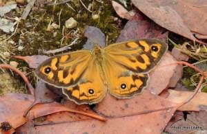 Male Common Brown - R.I.P.