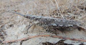 Bark-mimicking Grasshopper