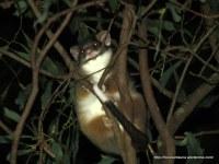 Common Ringtail Possum