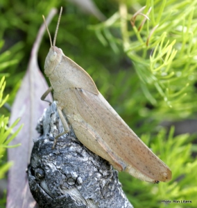 Gumleaf Grasshopper