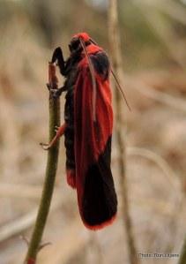 Hirdii fanaticus