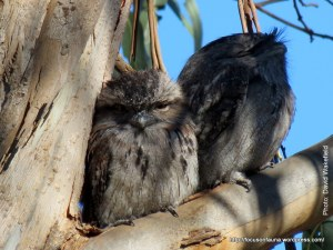 Tawny Frogmouths at Reedy Creek