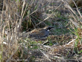 Male Spotted Quail-thrush