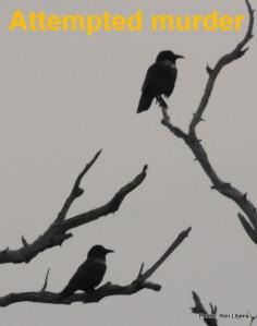 Ravens (Corvus sp.)