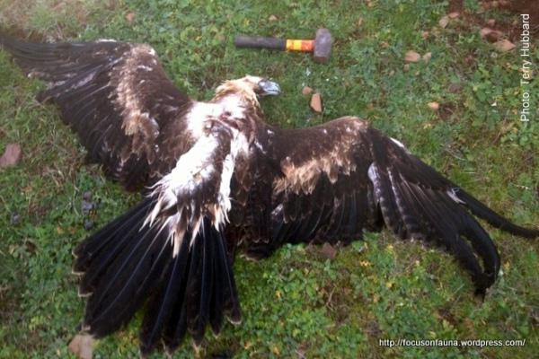 Wedge-tailed Eagle - the mallet is for size comparison only