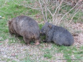 Wombat with young 2