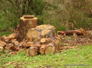 Angophora stump - spot the bird!