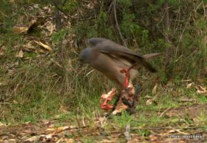 Goshawk version of a 'heavy meal'.