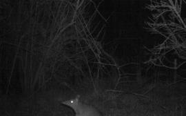 Long-nosed Bandicoot - Flowerdale