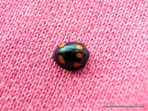 Orange-spotted Ladybird