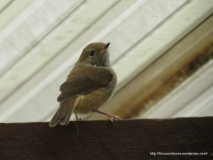 Brown Thornbill 1