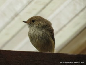 Brown Thornbill 2