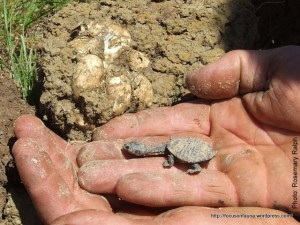 Turtle with eggs
