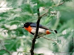 Mistletoebird 4