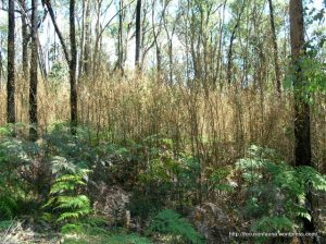 Cinnamon Wattle blight