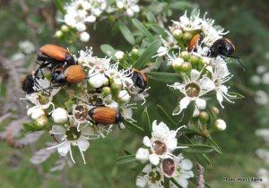 Nectar Scarab feeding frenzy