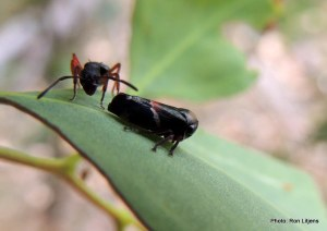 Ant tending treehopper