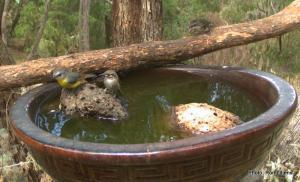 eastern yellow robin IMG_0922