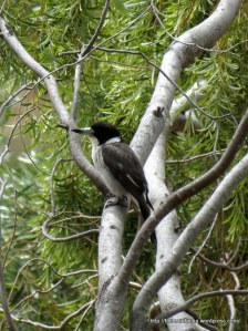 Adult Grey Butcherbird