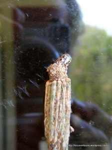 Case moth on window