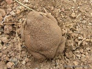 Vegie garden frog