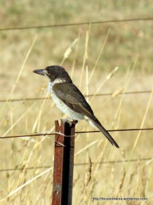Young Grey Butcherbird