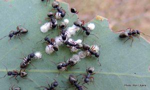 Ants tending Sugar Lerps (Glycaspis sp.)