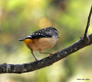 Spotted Pardalote looking for a lerp