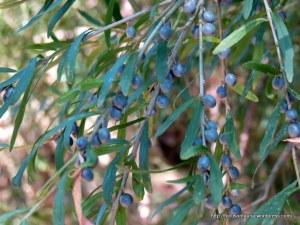 Tree Violet