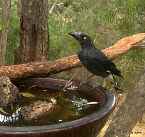 pied currawong IMG_1404