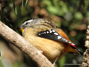 Spotted Pardalote recovering