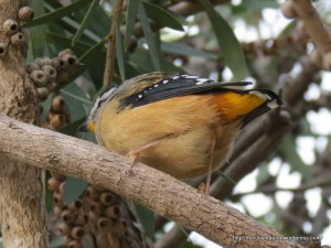 Spotted Pardalote resting