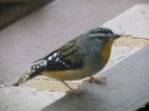 Spotted Pardalote through window