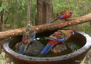 crimson rosella teenager IMG_0399